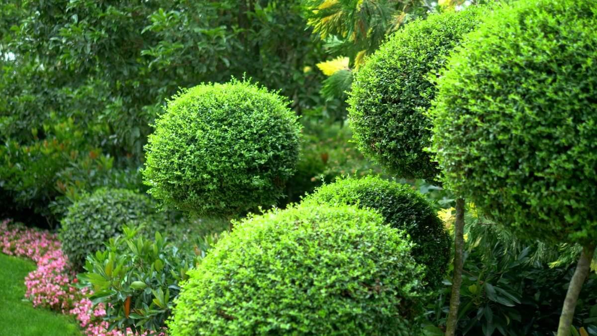 opstammede træer